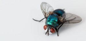 porque son tan pesadas las moscas